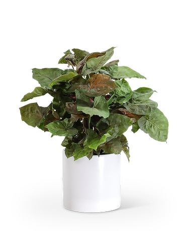 Arrowhead Plant Flower Arrangement