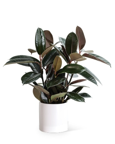 Rubber Tree Plant Plant