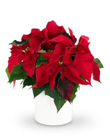 Red Poinsettia Plant Plant