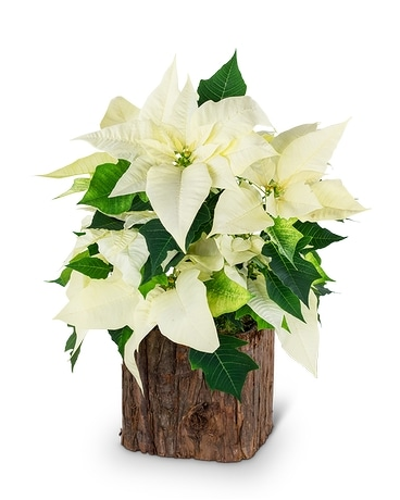 Natural White Poinsettia Plant In Fort Pierce Fl Giordano S Floral Creations