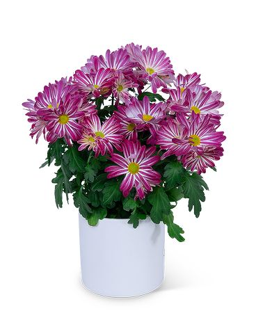Purple Daisy Chrysanthemum Plant Plant
