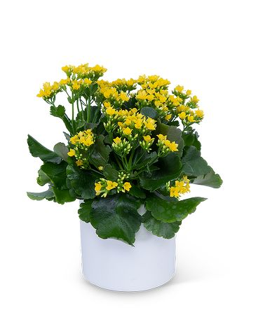 Yellow Kalanchoe Plant In Dayton Oh Furst The Florist Greenhouses