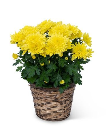 Yellow Chrysanthemum Plant Plant