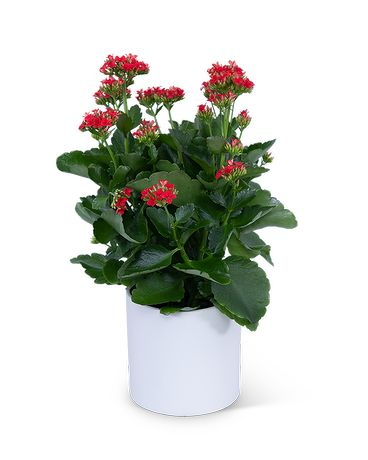Red Kalanchoe Plant Plant