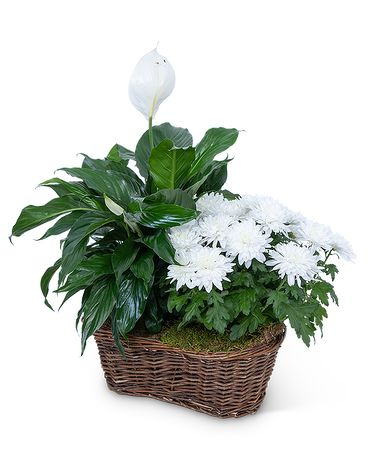Peace Lily with White Mum Plant Plant