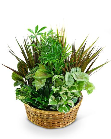Large Dish Garden in Basket