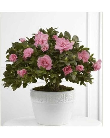 Pink Azalea Planter Flower Arrangement
