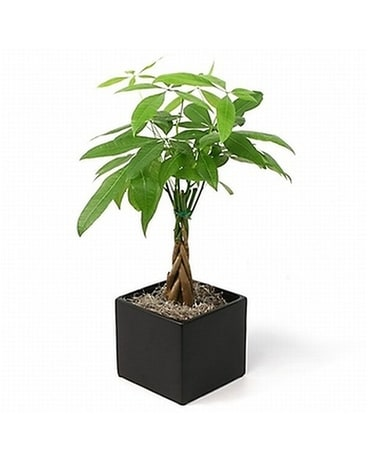Pachira Aquatica (Money Tree) Plant