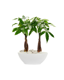 Double Pachira Aquatica Potted Plant_ Plant