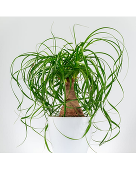 Ponytail Palm 6 inch Plant