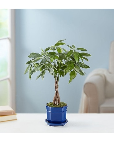 Money Tree - Plant