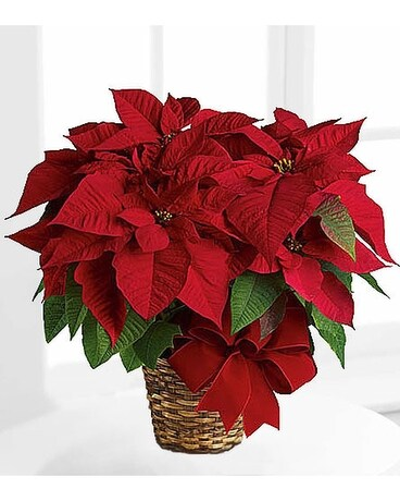 Poinsetta Plant Plant Flower Arrangement
