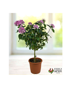 Pentas Plant Flower Arrangement