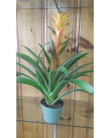 Yellow Bromeliad Plant Custom product