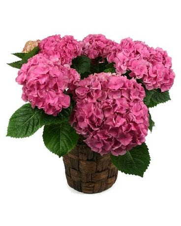 Perfect Hydrangea Plant Flower Arrangement