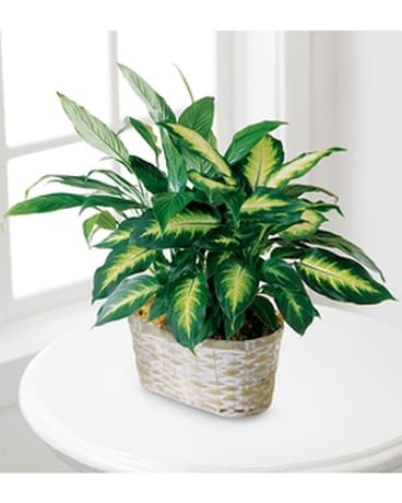 The FTD® Spathiphyllum and Dieffenbachia Flower Arrangement