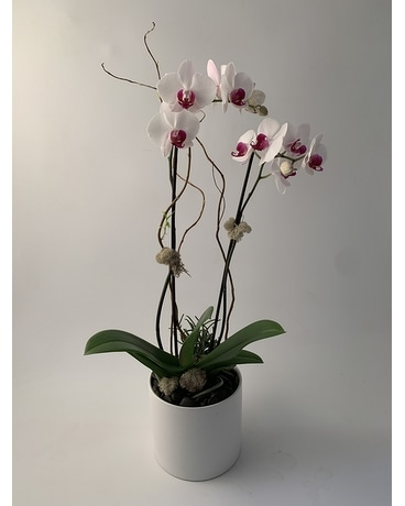 Classic Phalaenopsis Orchid Plant Plant
