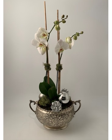 Holiday Orchid in Silver Plant
