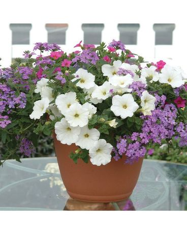 Patio Pots - Colorful Annual Bloooming Plants Flower Arrangement