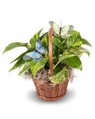 Butterfly Pothos Plant Plant