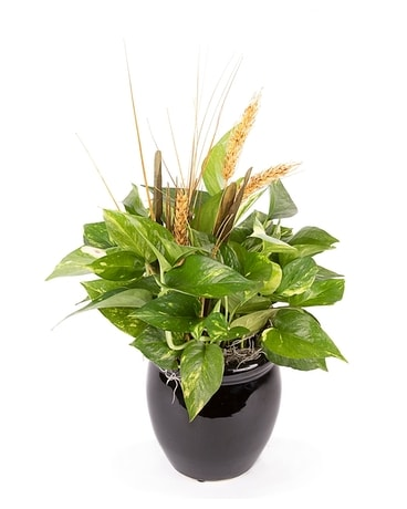 Pleasing Pothos Plant