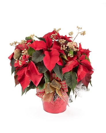 Double Poinsettia Plant Plant