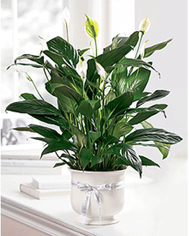 THE FTD® COMFORT PLANTER Flower Arrangement