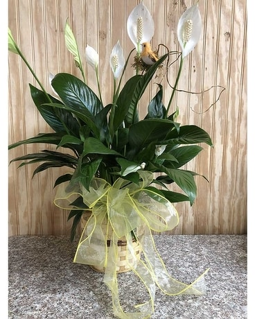 Spathiphyllum Flower Arrangement