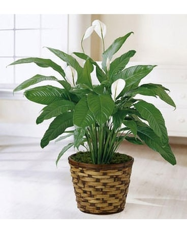 THE FTD® SPATHIPHYLLUM Flower Arrangement