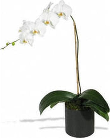 White Orchid Plant Flower Arrangement