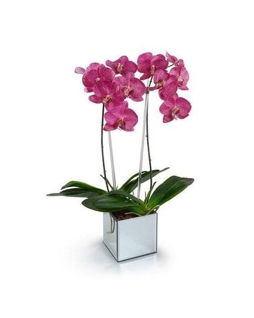New Growth Designs Phalaenopsis Orchid Gifts