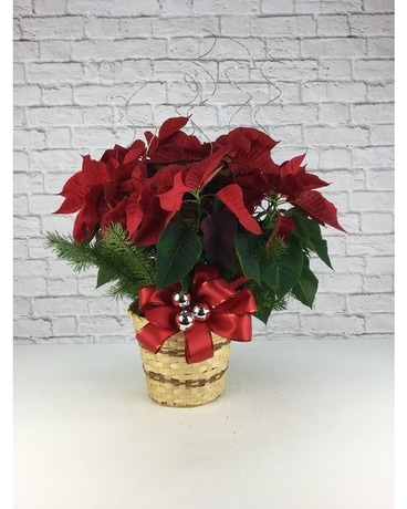 Dressed Poinsettia - 6 Inch Plant