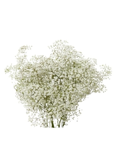 Market / Wholesale Baby's Breath Flowers