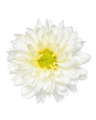 Market Wholesale Chrysanthemums In Tampa Fl Jennie S Flowers