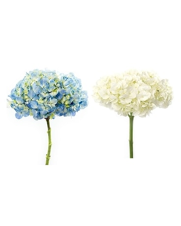 Market / Wholesale Hydrangea Flowers