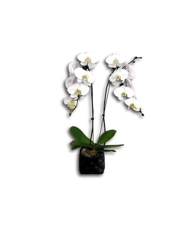 White Waterfall Phalaenopsis Orchid Flower Arrangement