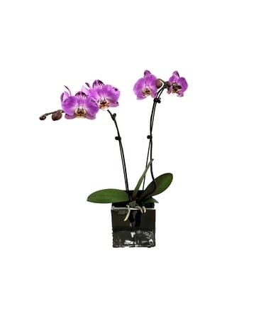 Purple Phalaenopsis Orchid Plant Flower Arrangement
