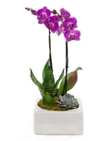 Double Purple Orchid Succulents In Square Vase Jennies Flowers