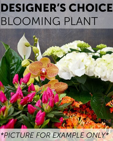 Designer's Choice - Blooming Plant Plant