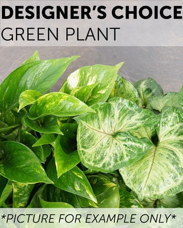 Designer's Choice - Green Plant