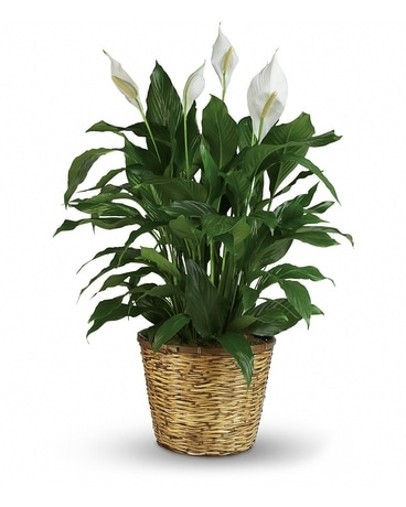 Small Peace Lily Flower Arrangement