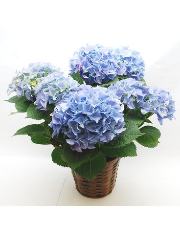 Blooming Hydrangea Plant Flower Arrangement