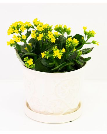 Keepsake Kalanchoe Flower Arrangement