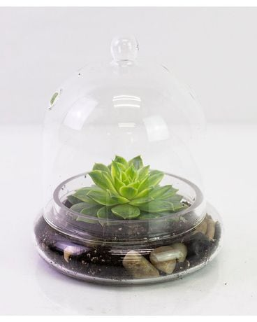 Succulents in a Cloche Plant