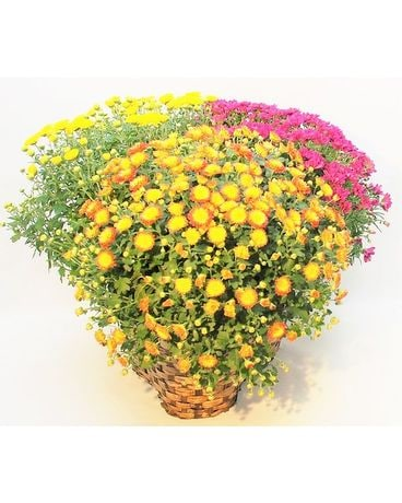 Triple Daisy Mum Basket Flower Arrangement