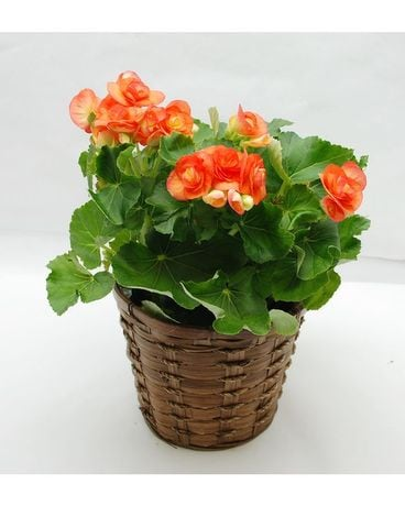 Begonia Plant Flower Arrangement
