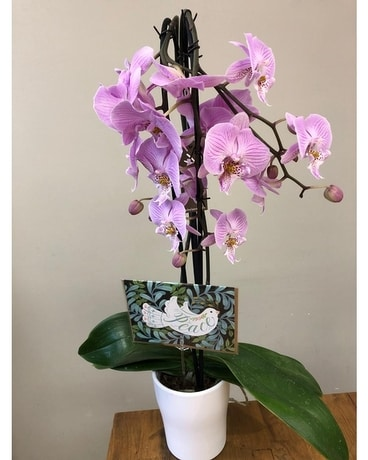 Orchid of Peace Plant