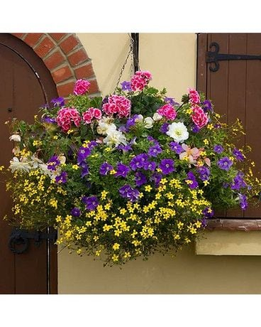 Mixed Hanging Basket Plant