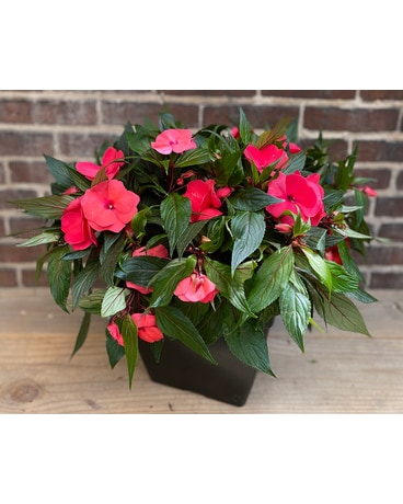 "12"" Potted New Guinea Impatiens Custom product"