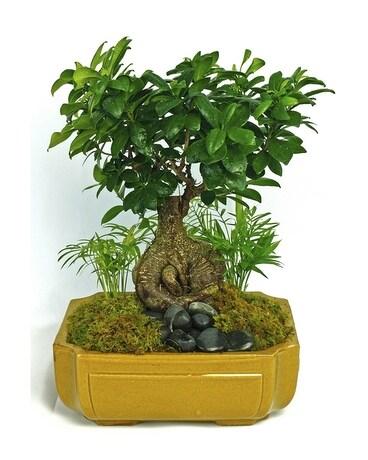Tropical Bonsai Tree In Merion Pa Long Stems